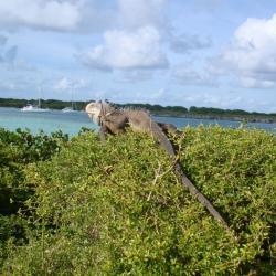 Iguane à Petite Terre