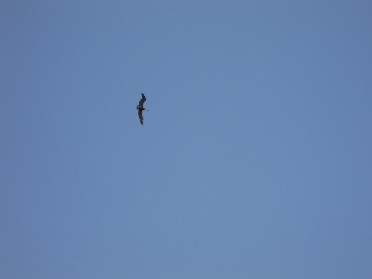 Les Saintes Pelican ciel