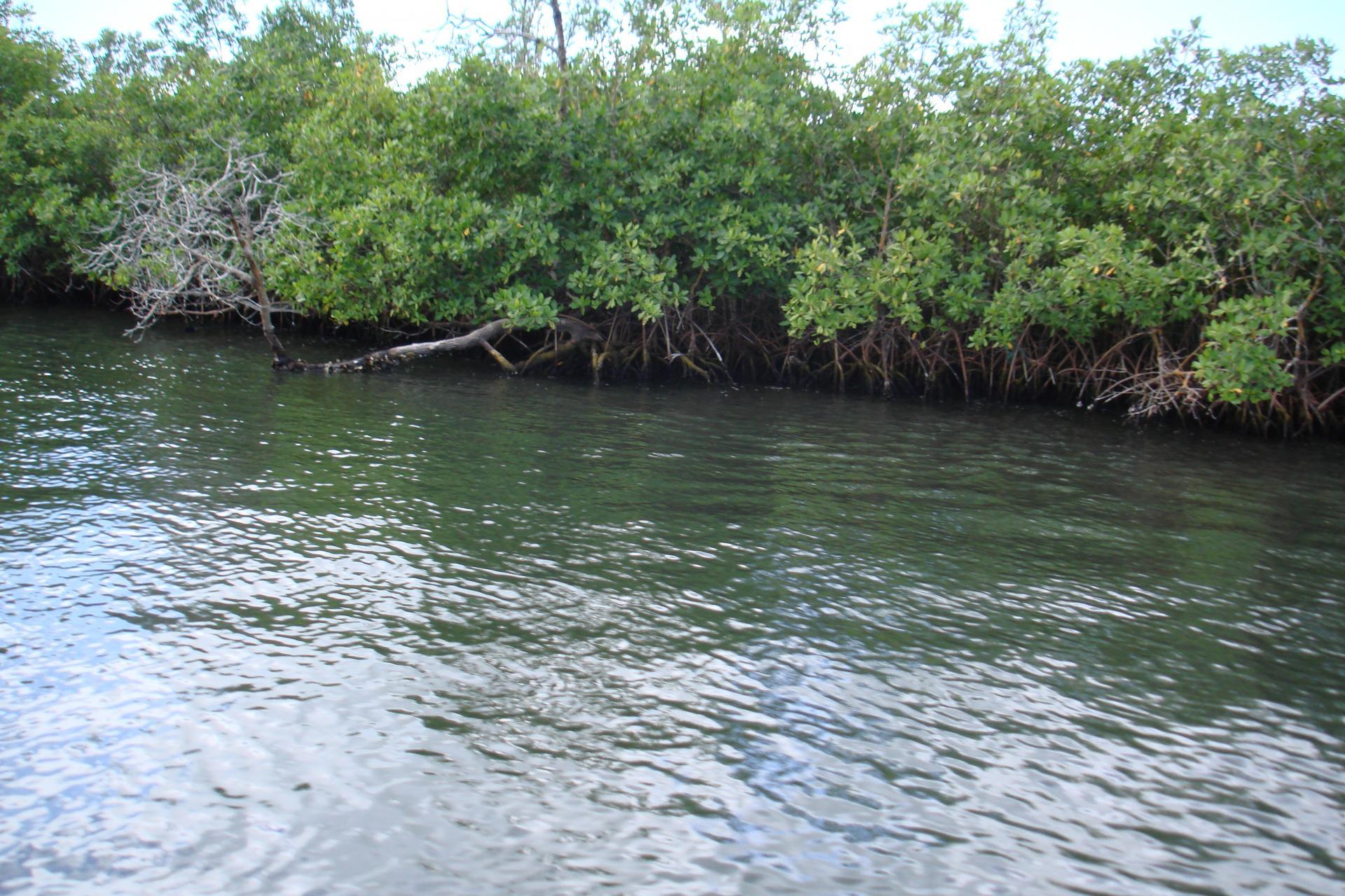 Mangrove sur la Riviere Salée