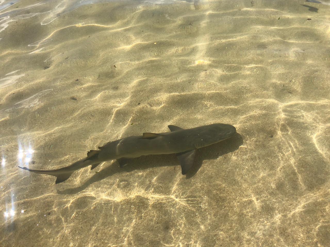 Requin à Fajou