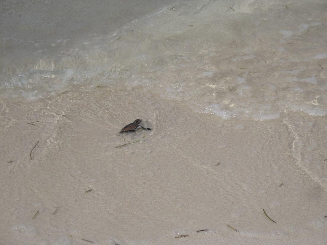 Naissance de tortue a l'ilet Caret (4)